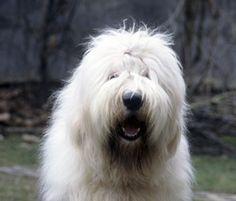 Old english sheep dog. Next dog I'm getting!