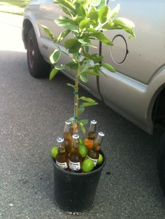 House warming present  Lime tree with Coronas