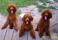 Have my own red Standard Poodle kennel