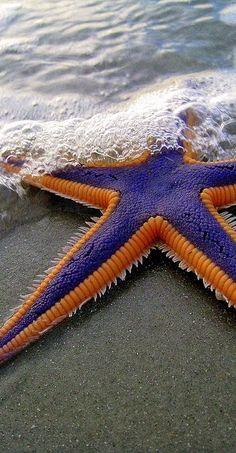 Purple and Orange Starfish on the Beach