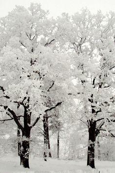winter beauti, winter snow, winter trees, winter wonderland, black white, white christmas, beauty, beautiful tree, snow white
