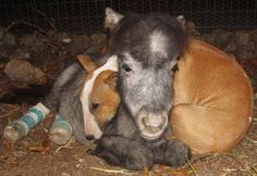 Such an adorable picture of love: Bazinga the miniature horse is comforted by Butterbean the bull terrier after undergoing surgery to correct her tendons..  Photo by Rocky Ridge Refuge