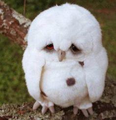 fluffi, coffe, bird, anim, funni, creatur, ador, awwww, sad owl