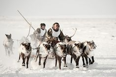 Reindeer play a vital role in the lives andtraditions of the Nenets. Aside from theirmarket value, reindeer provide a source offood, shelter, clothing, transport, spiritualfulfilment and means of socialising. A brideprice or dowry in the form of reindeer istherefore still common.
