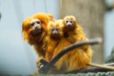 Massage Monkeys!  I kid -- they are actually Golden Lion Monkeys