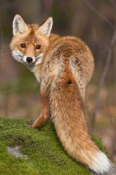 Beautiful Fox. I saw one run across my yard this morning.