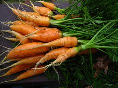 Carrots from the SEED House Garden.