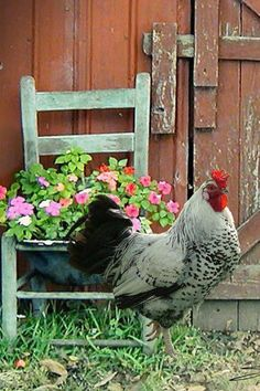 <3 barn doors, chicken coops, chair planter, the farm, country life, rooster, old chairs, red barns, garden
