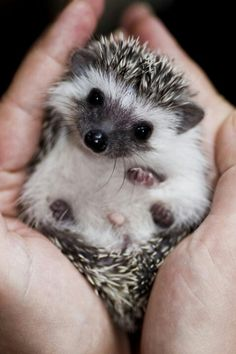 Hold a hedgehog - one of the cutest creatures