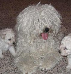 White Puli dam Joli and her puppies