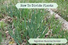 How to divide plants.Gardening. Egyptian Walking Onions. #SummerSaved #sponsored