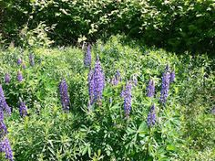 Leavening the lump for one penny a day. Lupines in the Androscoggin watershed in Maine, USA.