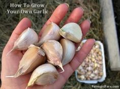 How to grow your own garlic.