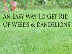 An easy way to get rid of weeds  dandelions