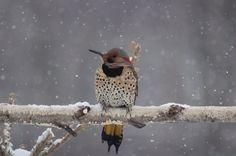 Flicker bird, flicker, backyard