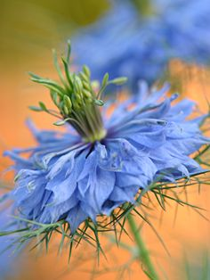 ~~Perfect Day ~ Nigella, Love in a Mist by signmeupscotty~~