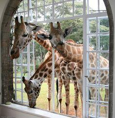 Giraffe Manor, Nairobi (Kenya). 'Top-end  luxury wedded to a sense of  world-class service, and a  Rothschild's giraffe looking in  your window.' http://www.lonelyplanet.com/kenya