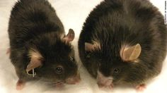 Gut bacteria promote obesity in mice - http://scienceblog.com/74611/gut-bacteria-promote-obesity-mice/