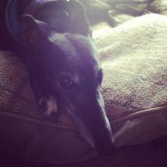 gorgeous greyhound