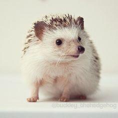 I love hedgehogs.