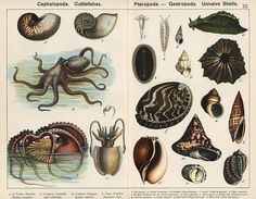 Cephalopoda and shells.