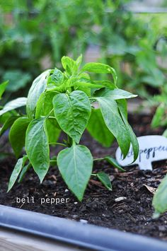 how to grow bell peppers in your backyard or on your patio. it's fun and easy. plans on link
