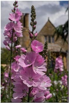 Prairie Mallow (sidalcea) at Hidcote Manor garden, one of the Cotswold's most beautiful gardens.