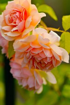 David Austin English Rose. Grace. Its delicious spicy fragrant, its beautiful apricot color in the center, and paler toward the edge, then those outer petals have sharp pointy edge. A truly unique and a must have in any English rose garden