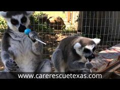 Lemurs Love Lollipops - Center for Animal Research and Education - YouTube
