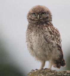 Wild baby little owl Pinned by www.myowlbarn.com