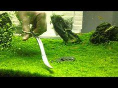 aquat plant, hemianthus carpet, trim dwarf, carpet trim, aquarium design