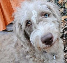 MO-Astrid is an adoptable Poodle Dog in Saint Louis, MO. We are the original, the one, the only and REAL Doodle Rescue Collective, Inc. A 501(c )(3) non-profit public charity providing Labradoodle & G...
