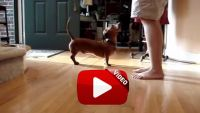 Dachshund doing the boogie dance - I Love Dachshunds