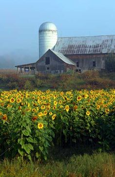 Beautiful rustic barn and silo surrounded by bright, yellow flowers...