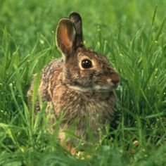Rabbits, be they jackrabbits or cottontails, can devastate your vegetable garden. Here's how to keep rabbits out of your vegetable garden without doing them harm.
