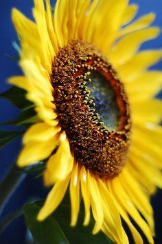 My favorite flower! :) Sunflowers..so pretty.