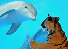At Six Flags Discovery Kingdom, Mavrick, a 14-month-old male Atlantic bottlenose dolphin tries to go eye to eye with Akaasha, a six-month-old female Bengal tiger at Six Flags Discovery Kingdom in Vallejo, Calif. on Thursday, March 5, 2009. Park animal staff strolled by the dolphin exhibit as they escorted the tiger cubs on their daily walk around the park. (AP Photo/Six Flags Discovery Kingdom, Nancy Chan)
