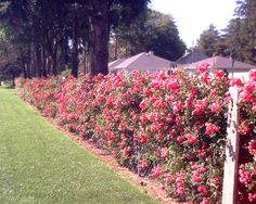 hiding chain link fence with roses