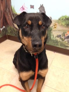 Hercules is a small medium sized, two year old dog with a long body.  He is a little shy and timid. He has a very nice temperament and would do well in a family with older children.He deserves a chance to be loved and cared for properly. He just...