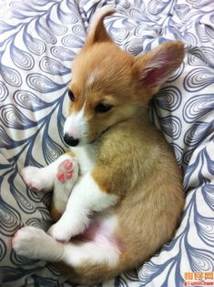 Baby corgie, we love you and your pink paws.