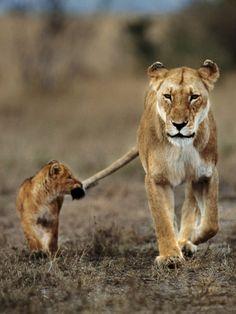 Cub holding onto lioness tail, Masai Mara Reserve, Kenya © Frans Lanting