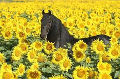 Horse and Sunflowers