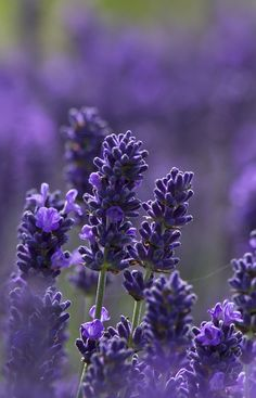Lavender by malkv, via Flickr