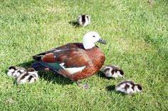 Google Image Result for http://www.christchurchdailyphoto.com/wp-content/uploads/2008/09/paradise-ducklings.jpg