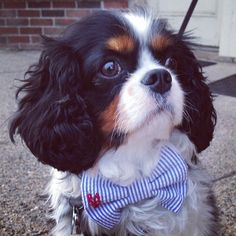 Puppy Jack: check out my new bow tie :-)