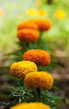 most exotic marigolds/ATTRACTS: Butterflies for a host plant, also a favorite of Goldfinch and Sparrows.