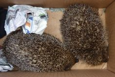 Dealing with Slugs in a Permaculture Garden  (aka a good excuse to get some hedgehogs!!)