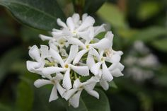 star jasmine Trachelospermum jasminoides: evergreen and sented Delivery by Crocus.co.uk