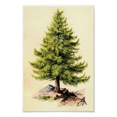 Pine Tree Antique Botanical Print Poster