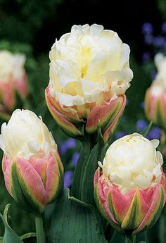 Ice Cream Tulips